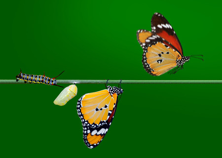 Amazing moment, Monarch Butterfly, pupae and cocoons are suspended. Concept transformation of Butterfly 스톡 콘�츠