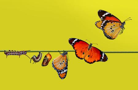Erstaunlicher Moment, Monarchfalter, Puppen und Kokons werden ausgesetzt. Konzepttransformation von Butterfly