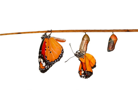 Amazing moment, Monarch Butterfly, pupae and cocoons are suspended. Concept transformation of Butterfly Imagens