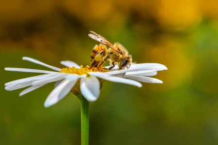 Image of bee or honeybee on yellow flower collects nectar. Golden flower on a white background. Insecta. Animal