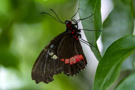 Closeup beautiful Great Mormon butterfly sitting on the flower. Stock Photo