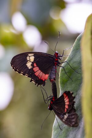 Two butterfly mating. Common Mormon, Papilio polytes, beautiful butterfly