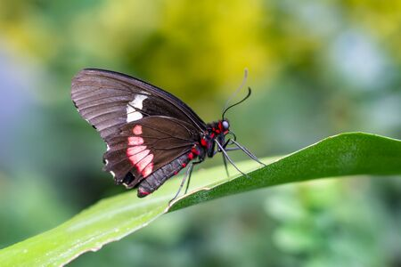 Closeup of Common Mormon, Papilio polytes, beautiful butterfly in a summer garden