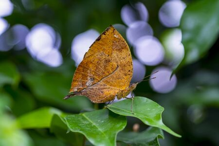 Dead leaf butterfly, Kallima inachus, aka Indian leafwing, standing wings folded on a bamboo branch, dead leaf imitation.