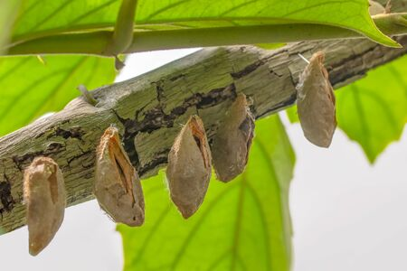 Butterflies farm. Different butterflies chrysalis on a branch Archivio Fotografico