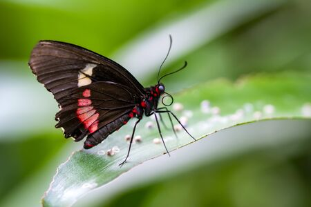 Close-up of beautiful Mormon butterfly sitting on flower