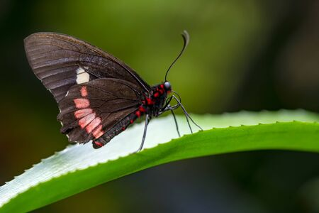 Closeup beautiful Great Mormon butterfly sitting on the flower. Imagens