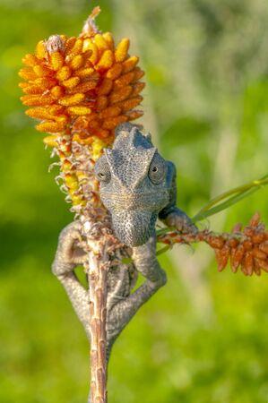 Macro shots, Beautiful nature scene green chameleon