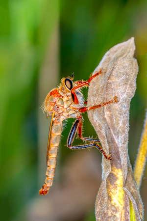 Macro shot of a robber fly in the garden Zdjęcie Seryjne