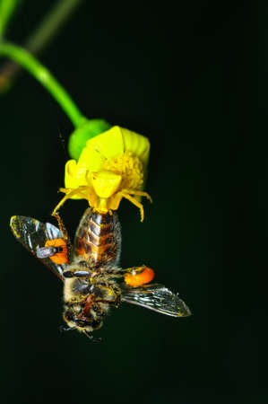 Beautiful Crab spider feasting on bee. Macro photo