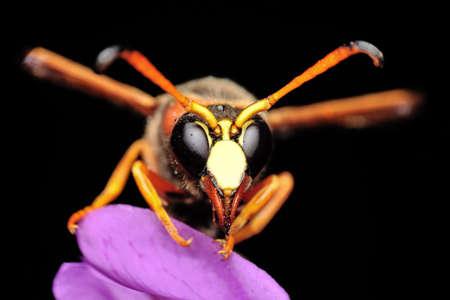 Beautiful Median wasp (Dolichovespula) portrait Stockfoto