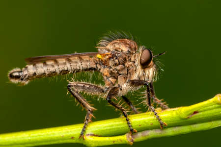 Macro shot of a robber fly in the garden Stock Photo