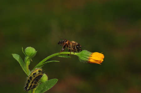 Image of bee or honeybee on yellow flower collects nectar. Golden honeybee on flower pollen with space blur background for text.