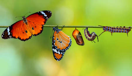 Closeup beautiful Monarch Butterfly and Chrysalis. Concept transformation of Butterfly