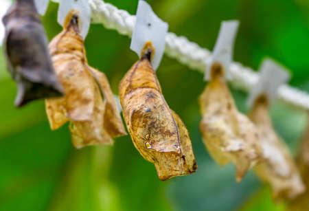 Butterflies farm. Sign In Different butterflies chrysalis on a branch