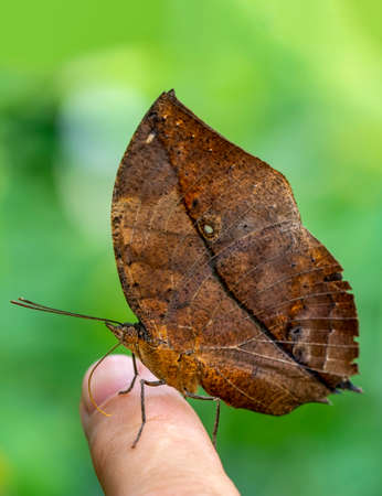 Beautiful Closeup Dead leaf butterfly, Kallima inachus, aka Indian leafwing, at your fingertips in a summer garden