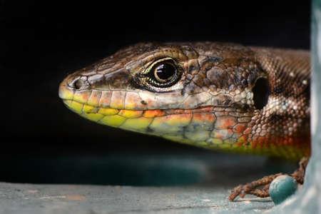 Closeup Beautiful lizard in the garden