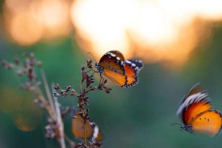 Beautiful monarch butterflies, Danaus chrysippus flying over summer flowers