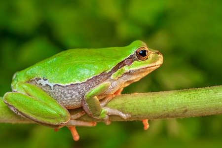 Beautiful Europaean Tree frog Hyla arborea