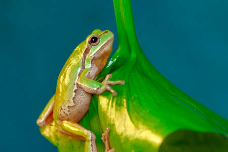 Europaean tree frog Hyla arborea from water onto dry reed-mace leaf in natural background