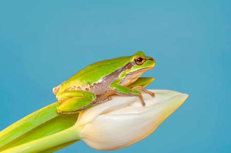 Beautiful Europaean Tree frog Hyla arborea Banco de Imagens