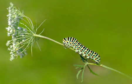 Macro shots, Beautiful nature scene. Close up beautiful caterpillar of butterfly 版權商用圖片