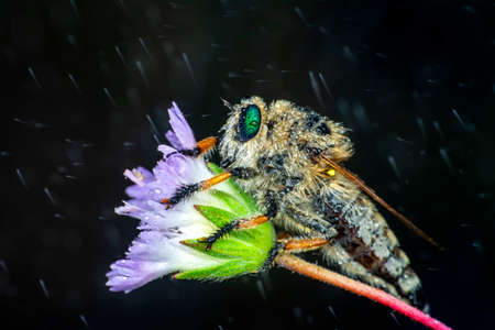 Macro shot of a robber fly in the garden 版權商用圖片