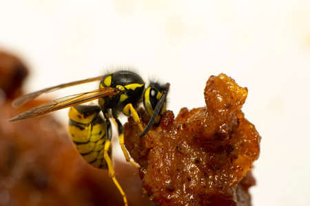 Beautiful Median wasp (Dolichovespula) portrait