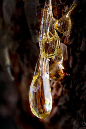Pine resin amber color flows down the bark of the tree. Damaged pine bark dripping sticky resin