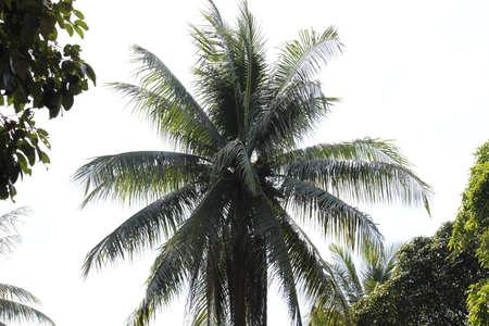 他の樹木とともにアジア ココナッツ ツリー サラウンド 写真素材