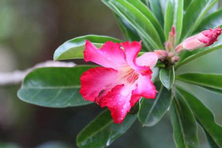 obesum: Blossom Impala Lily ,Adenium obesum