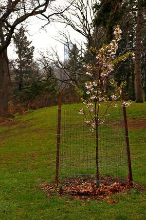 Small cherry blossom tree in a rainy day Stockfoto
