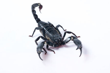 cold blooded: Asian Forest Scorpion - Heterometrus spinifer
