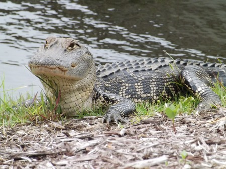 Sunbathing alligator by the water Banco de Imagens