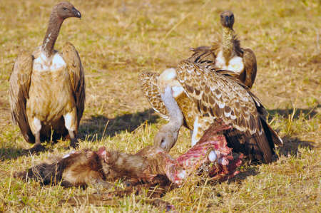 bird eating raptors: scavengers and their prey in Masai Mara Stock Photo