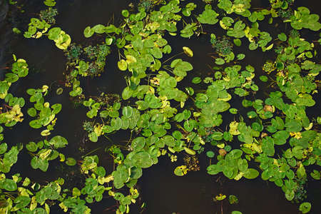 Dark water texture with water lilies, duckweed and other vegetation on the water