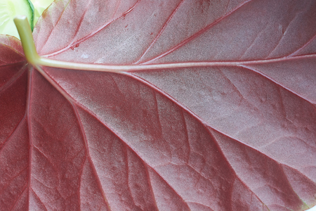 background, fragment leaf of a plant red, reverse side, close up Stockfoto