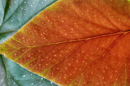 background, fragment leaf of a plant red and green leaf, reverse side, close up Stockfoto