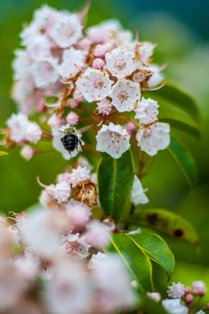Bee and Mountain Laurel Blossom