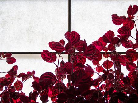 Red Leaves Growing Against Window Pane
