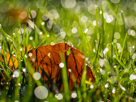 Leaf in Grass with Morning Dew, Shallow Depth of Field