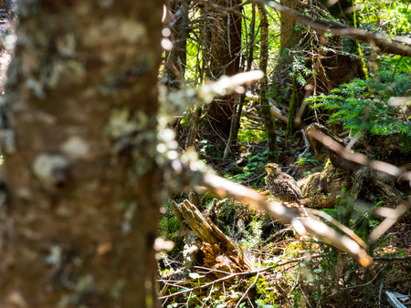 Baby Grouse in Dense Woods