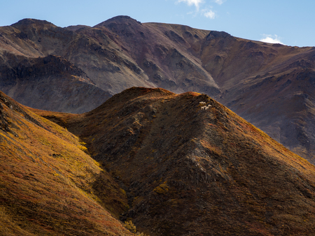 Dall Sheep on Hill in Autumn, Denali National Park, Alaska