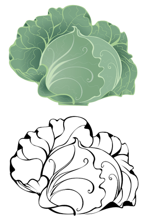 artistically: artistically painted white cabbage on a white background.  Illustration