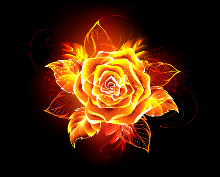 Blooming rose from fire and flame on black background.