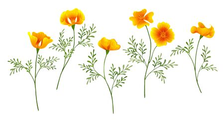 Set of yellow golden flowers California Poppy on white isolated background. Vecteurs