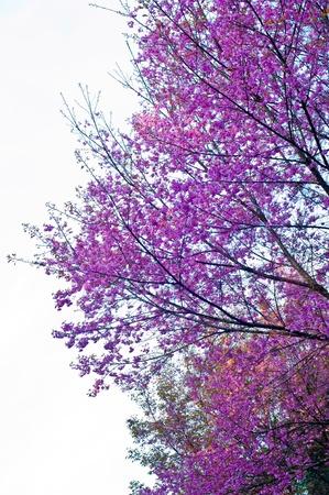 Roze bloem Wilde Himalaya Cherryat Doi Angkhang Chiang Mai, Thailand