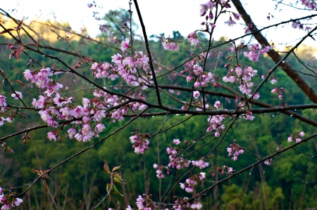 Pink Prunus mume flower  at Doi Angkhang Chiang Mai , Thailand photo