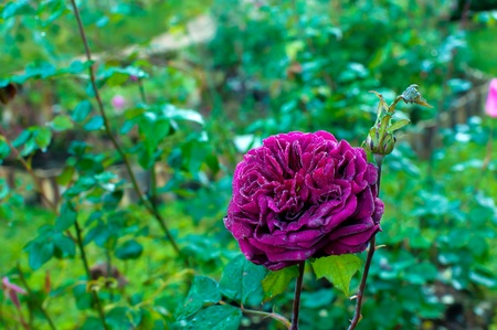 Beautiful red Damask rose in a garden Doi Angkhang Chiang Mai , Thailand Stock Photo - 13614855