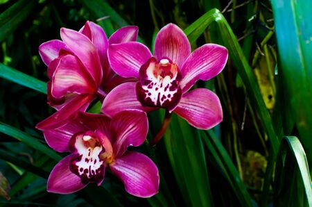 vivid pink phalaenopsis orchid flower closeup isolated in the garden Stock Photo - 13615035